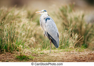 Grey heron standing in the sand. - Grey heron standing in...