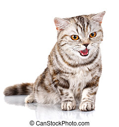 Scottish Straight Male Cat siting on Isolated white Background