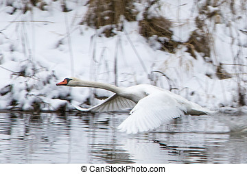 A beautiful white swan flying above the river at the winter