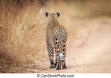 Starring Leopard from behind. - Starring Leopard from behind...