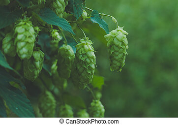 Growing on a branch of hop cones .Blue toned - Growing on...