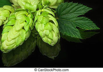 Green hop cones on a dark background grown for brewing beer,...