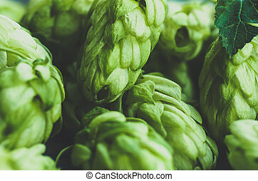 Green hop cones closeup. blue,toned, - Green fresh hop cones...