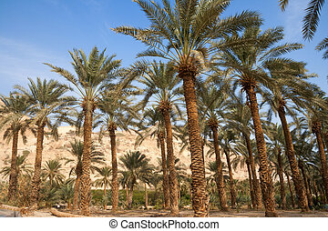 palm trees oase - Ein Gedi oase in the Negev desert near the...