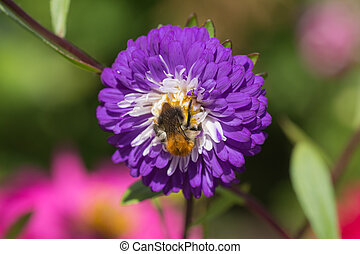 bee on aster close up in summer