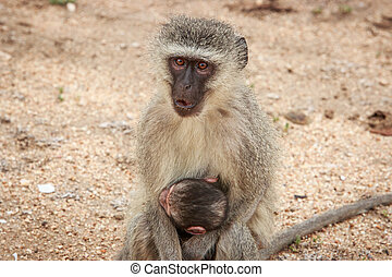Mother Vervet monkey with a baby. - Mother Vervet monkey...