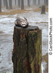 Weasel in the forest. - Funny pet climbed up a tall tree...