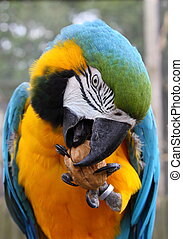 Blue and Green macaw