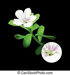 Bacopa monnieri plant on black background. Brahmi or...