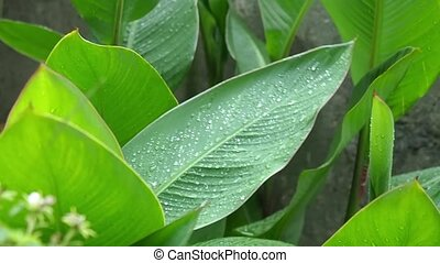 The large green leaves close-up waves on a wind. Rain drops...