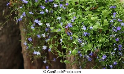 Lobelia beautiful blue flowers - blue Lobelia close to...