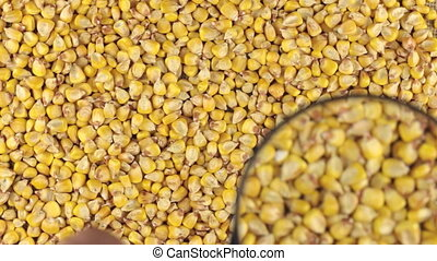 Examination using a magnifying glass rotating corn grains....