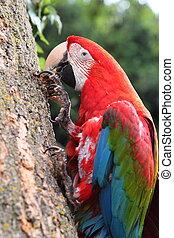 escarlata, papagallo