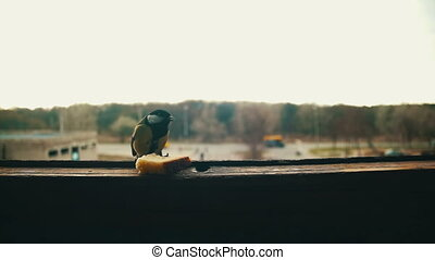 Bird Titmouse Eats Bread on a Wooden Window Sill. Slow Motion