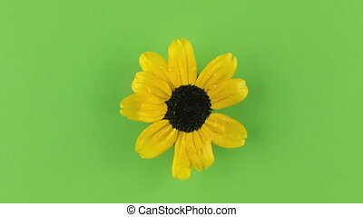 Slow rotation of a yellow camomile on a green background,...