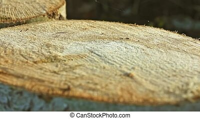 Small Ant Running on Huge Pine Balk - Small ant running on...