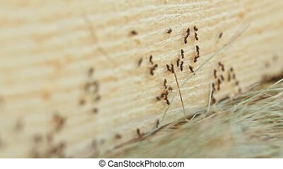 Ants Running on Cutting Tree - A lot of ants running on the...