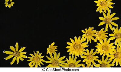 Floating daisy flowers in water in the wind.