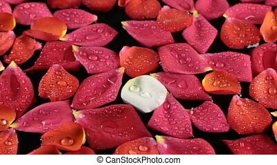 Zoom rose petals with dew drops sway in the wind. View from...