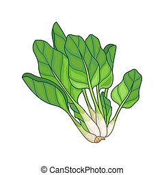 Spinach vector colored botanical illustration. Product to...