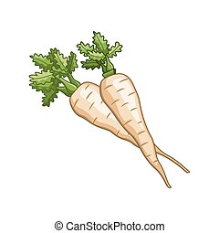 Parsnip vector colored botanical illustration. Product to...