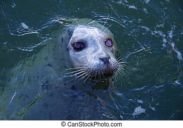 One eyed Harbour Seal, head out of water, waiting for a...