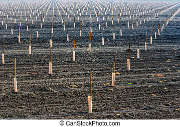 Newly planted crop in rows and field - Rows of plants are...