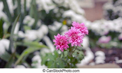 Flowers of chrysanthemum under first snow - Chrysanthemum...