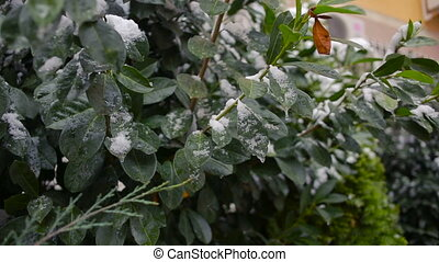 The first sudden early snow on green leaves. cold - The...
