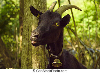 Black goat with tongue out