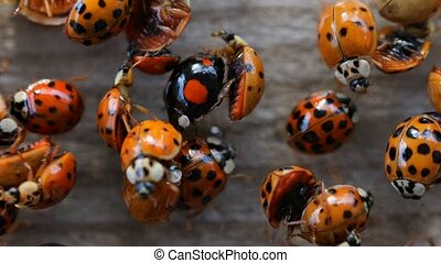 Collection of ladybirds on wooden background macro footage