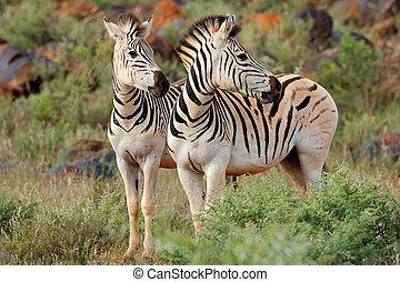 Plains zebras in natural habitat - Two plains (Burchells)...