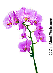 Orchid - Beautiful pink Orchid, isolated on a white...