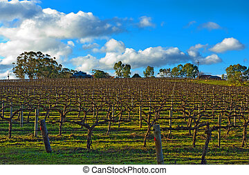 winter vineyard - Beautiful winter vineyard in the South...