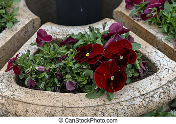 Red violet in stone pots in the park