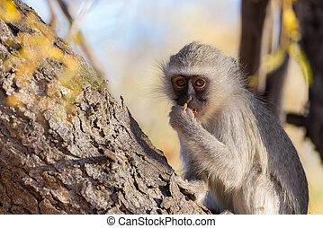 Vervet monkey (Chlorocebus pygerythrus) eating nuts on a...