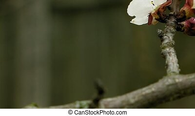 Flowers blossom on the pear fruit tree branch with buds and...