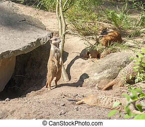 Meerkats in sunny ambiance