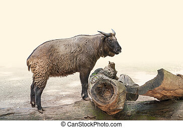 Takin on wooden tree trunk - a Takin standing on a wooden...