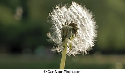 Blowing away dandelion seeds bright summer day