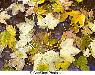 Wet autumn leaves in a puddle of water on the pavement close...