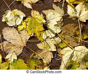 Top view of a wet autumn leaves in a puddle of water on the...