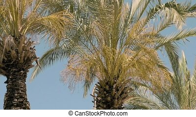 Palm trees are moving in the wind. Summer time climate makes...