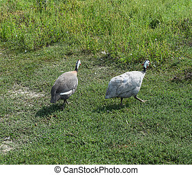 Guinea fowl on the green grass. Guinea fowl - poultry in the...