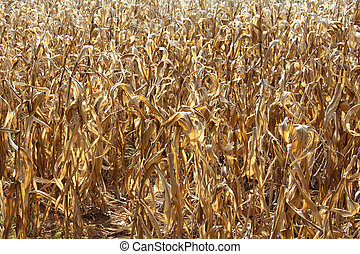 The dried corn field background