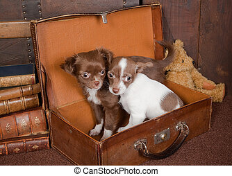 Chihuahua friends - Old vintage suitcase with a teddy bear...