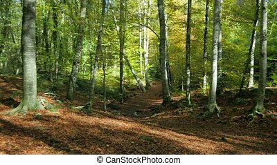 Beech Fields in Early Autumn Panoramic View - Sun rays...