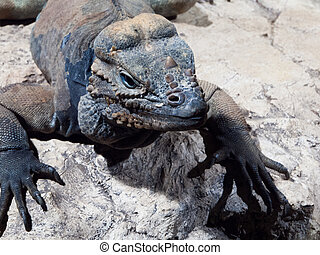 Rhinoceros iguana - threatened species of Caribbean lizard -...
