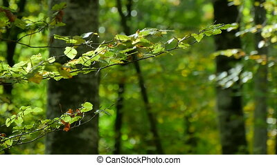 Beech Forest Branches with Leaves in Early Fall - Green...