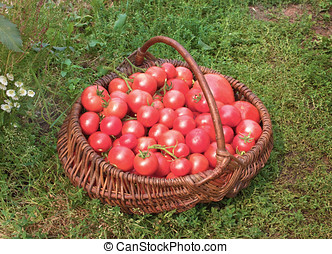 Basket filled with tomatoes